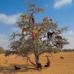 Argania czyli Drzewo Życia